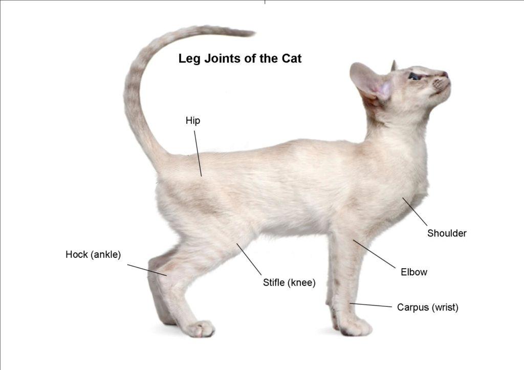 Cat Cruciate & Knee Dislocation 1
