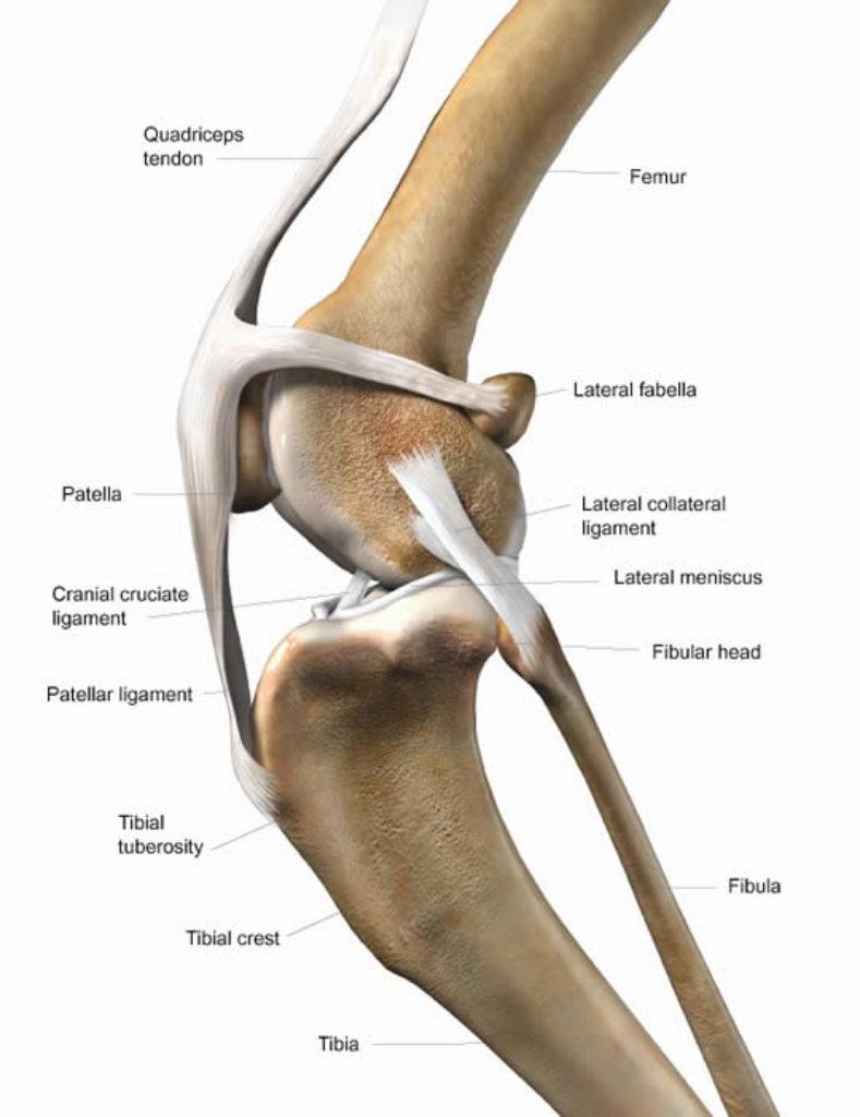 Cat Cruciate & Knee Dislocation 2