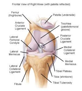 Cat Cruciate & Knee Dislocation 3