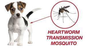 Heartworm Disease in Puppies 1
