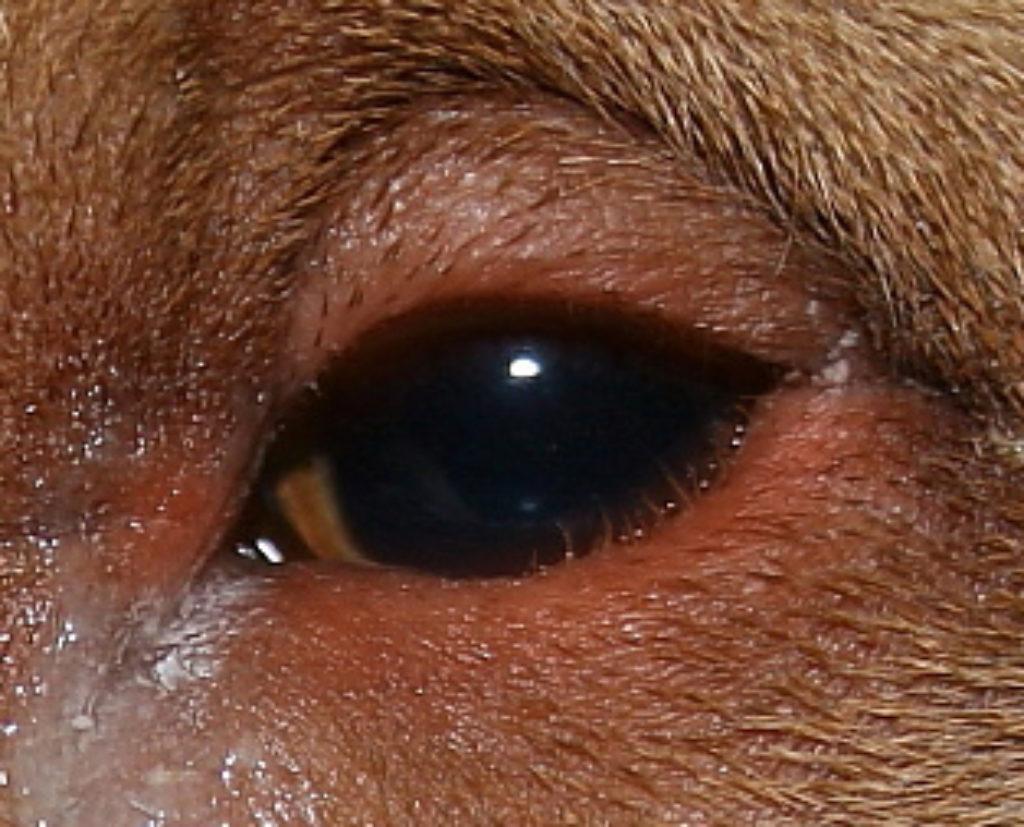 Entropian Surgery in Dogs 2